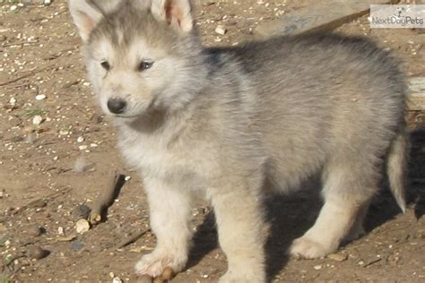wolf hybrid puppies for sale black wolf hybrid puppies for sale