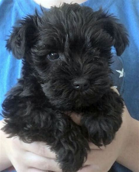black miniature schnauzer puppies black mini schnauzer puppy