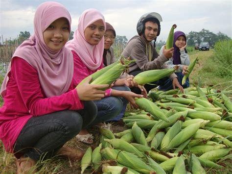 Benih Jagung Manis Talenta ugm gandeng perusahaan benih kembangkan jagung manis