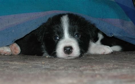 free border collie puppies border collie puppies for free 42 desktop wallpaper dogbreedswallpapers