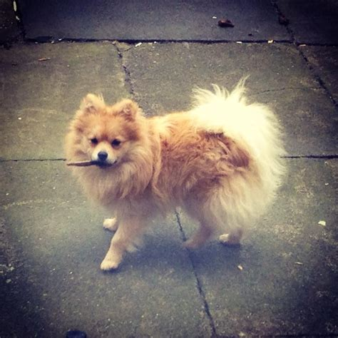 why do pomeranians spin in circles pomeranian breeds picture