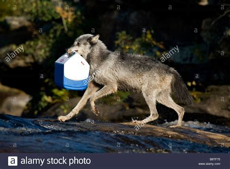 wolf food wolf running and jumping with cooler of food in minnesota stock photo royalty