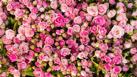 wallpaper 4k rose wallpaper pink roses 4k flowers 5862