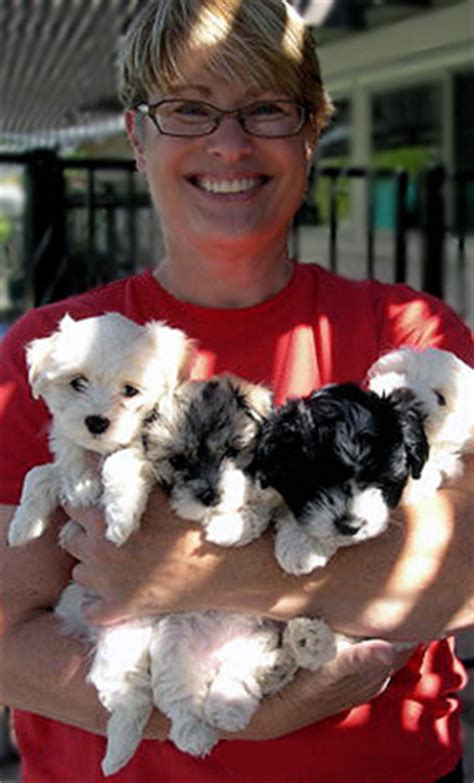 havanese puppies for sale in arizona 1 akc havanese puppies arizona breeder r havanese
