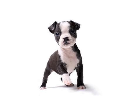 puppy boston terrier boston terrier puppies for sale akc puppyfinder