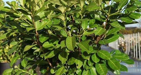 lauroceraso in vaso siepe di lauro siepi coltivazione e cura di una siepe