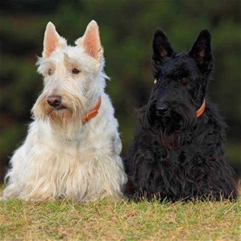 differeñt cut for sçott terrier breeds scottish terrier breeds dogzone com
