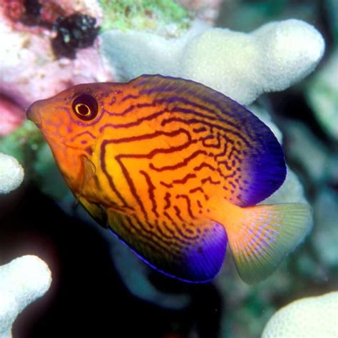 bright colored fish chevron tang juvenile with bright colors adults are olive
