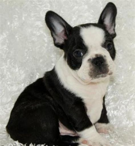 black bulldog puppies best 25 white bulldog puppies ideas on black bulldogs