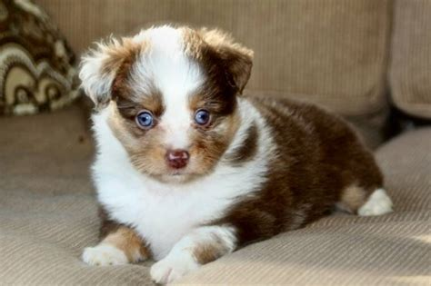 miniature aussie puppies for sale our aussies