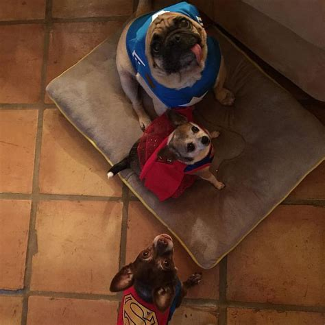 pug superman costume quot i got to bees part of da justice league for lots of treaties quot pugsley