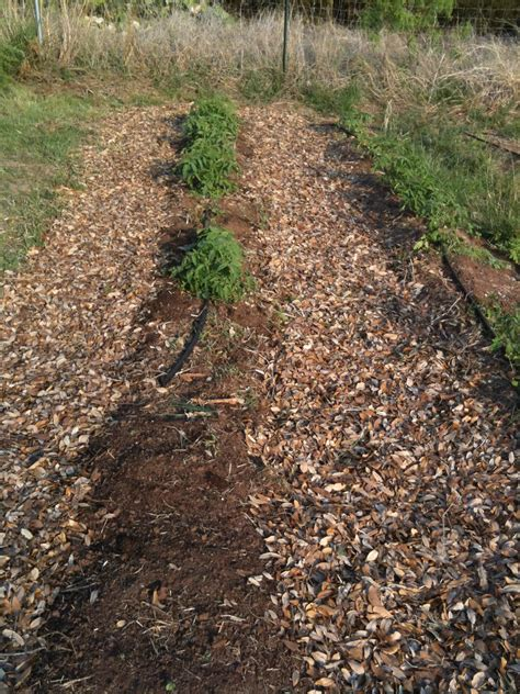 Top 28 Leaves As Mulch Or Bad The Accidental Huswife Leaf Mulch For Vegetable Garden
