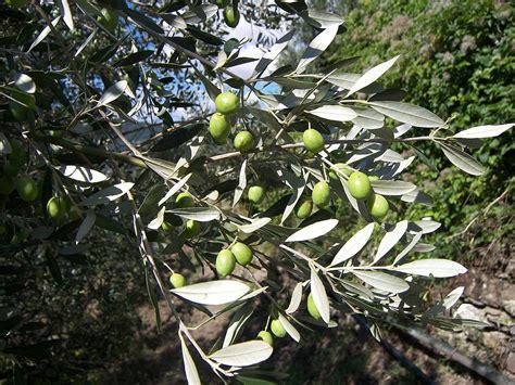 olive trees olive tree leaves olive tree