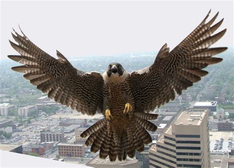 even peregrine falcons will be joining in the campaign