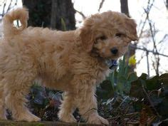 mini goldendoodles for sale in iowa mini labradoodle fidos spots coats