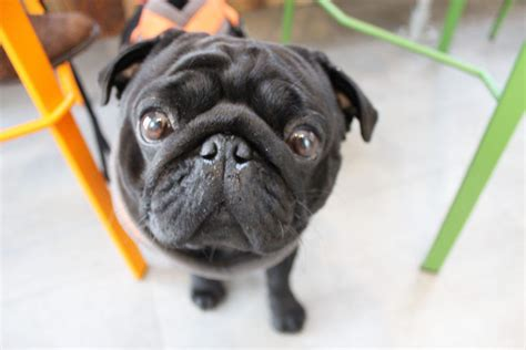 black pug cafe a popup pug cafe is coming to metro news