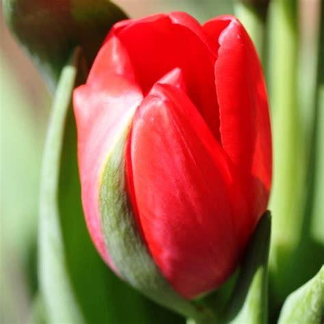 fiore tulipano tulipano portaleverde it
