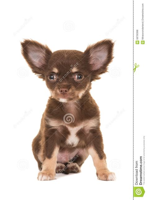 brown chihuahua puppy 50 most wonderful brown chihuahua pictures and images
