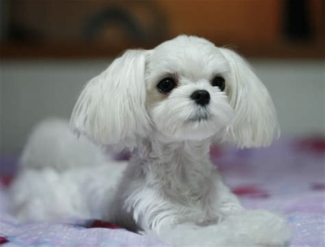 what is the best cut for a malti poo 4 brave maltese haircut styles harvardsol com