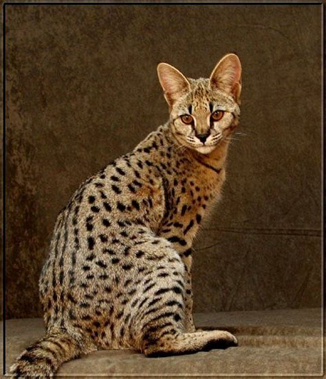 savannah house cat savannah cats for sale kittens in u s how big savannah cat get for sale f1 big