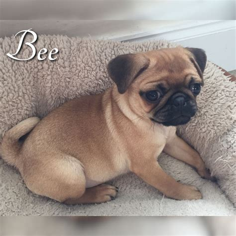 new pug beautiful kc reg apricot pug puppy new price ryton tyne and wear pets4homes