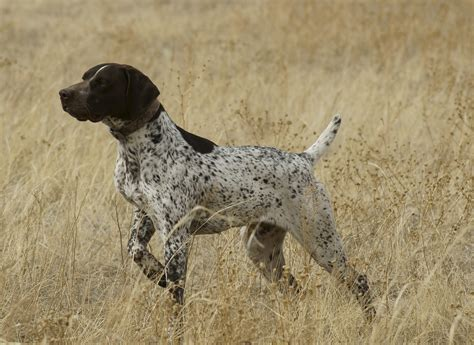 German Longhaired Pointer Wallpapers HD Download