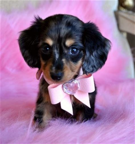 teacup dachshund puppies tiny teacup dachshund breeds picture