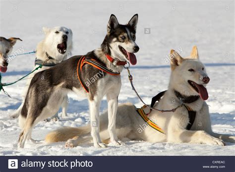 alaskan sled dogs siberian husky the sled breeds picture