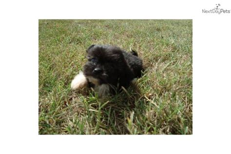 havanese atlanta havanese puppies for free atlanta ga fulton breeds picture
