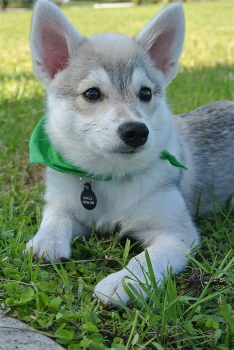mini dogs alaskan klee mini husky sled puppy