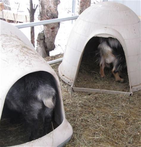 igloo dog house craigslist the henry milker alaskan goat igloos goat house