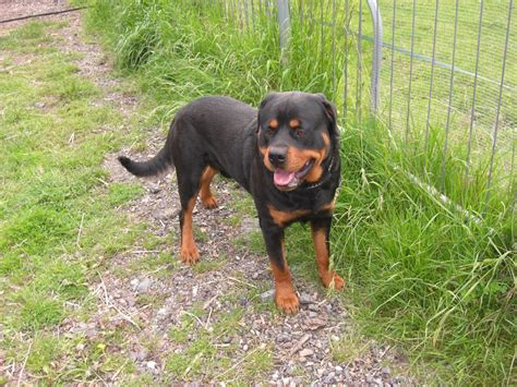 wanted rottweiler wanted rottweiler hockley essex pets4homes