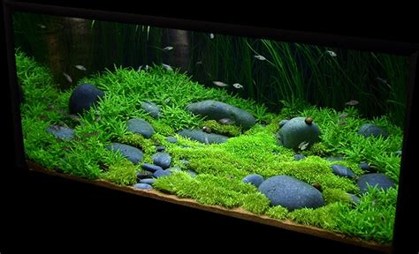 Hair Grass Aquascape by Stauragyne Riccia Hair Grass Fish Tanks
