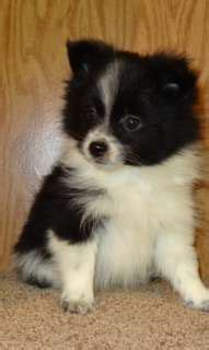black and white mini pomeranian one day you will be mine on white pomeranian pomeranian puppy and