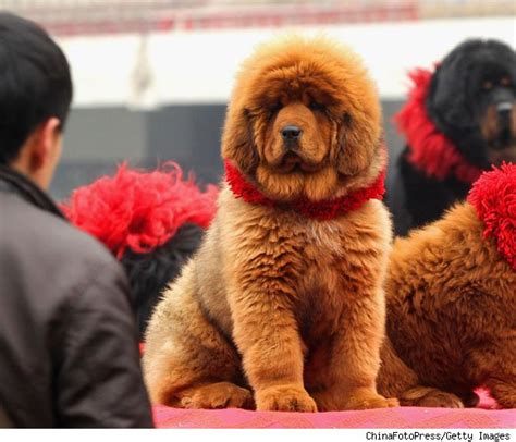 how much is a tibetan mastiff puppy luxury photos and articles stylelist