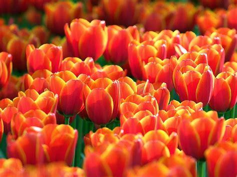 wallpaper bunga warna warni bergerak bunga tulip animasi images