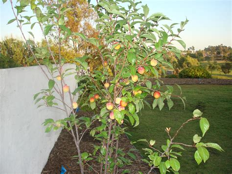 fruit punch tree file splash pluot jpg wikimedia commons