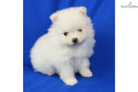 pomeranian near me pomeranian puppy for sale near springfield missouri d48f1743 78b1