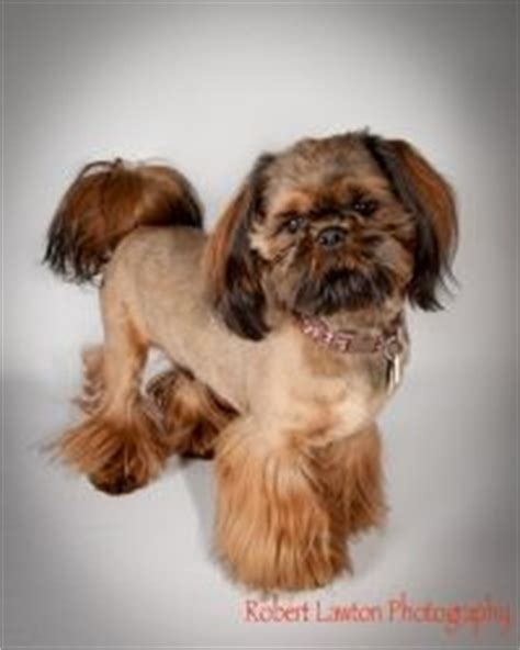 male shih tzu hair styles boy shih tzu haircuts shih tzu cut down by doggie bow