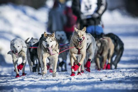 race in alaska alaska s iditarod sled race stymied by lack of snow nbc news
