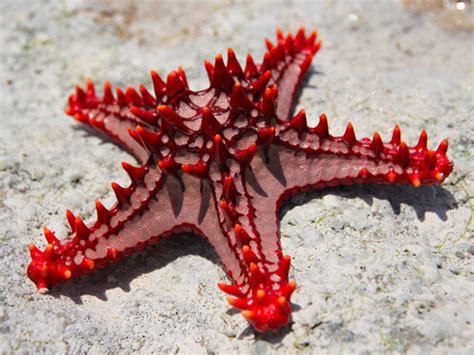 Knobbed Starfish by Seaquarium Weston Animal A Z