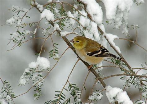 top 28 goldfinch in winter image gallery winter