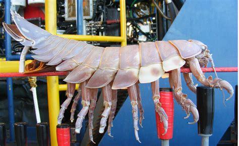 biggest bed bug world s largest bed bug found flickr photo sharing