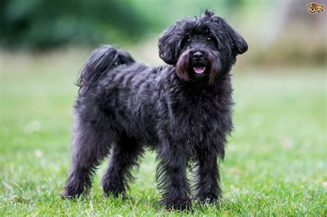 schnoodle puppy schnoodle breed information buying advice photos and facts pets4homes
