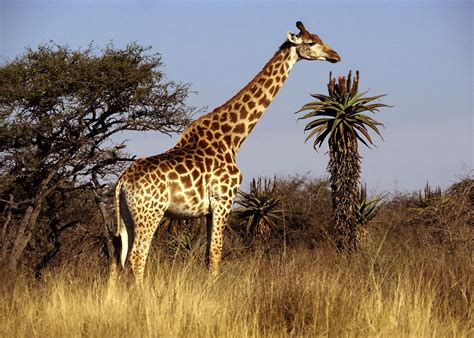 Animal J by The Giraffe Largest Animal In The World Animals Lover