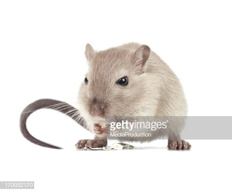 gerbil colors gerbil colors stock photos and pictures getty images