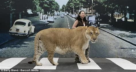 world s largest hercules animals birds world s largest big cat hercules