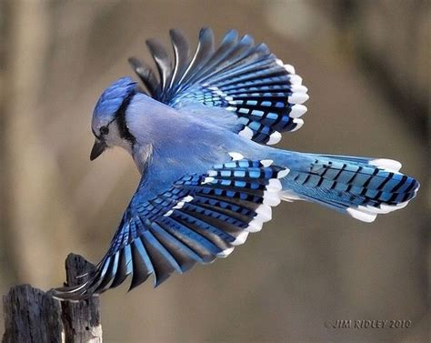 how is a bluebird different than a blue jay
