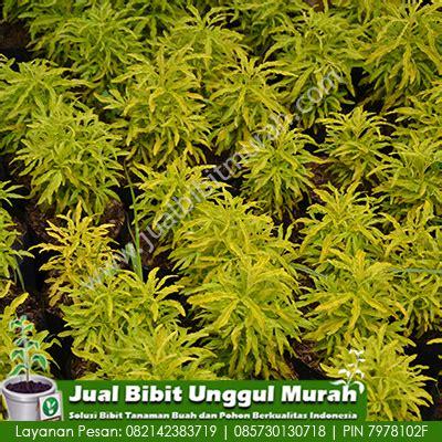 Bibit Bunga Stevia bunga brokoli 1 agro bibit id