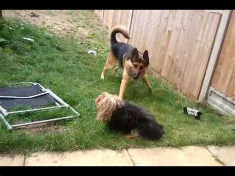 yorkie german shepherd german shepherd vs yorkie terrier doovi